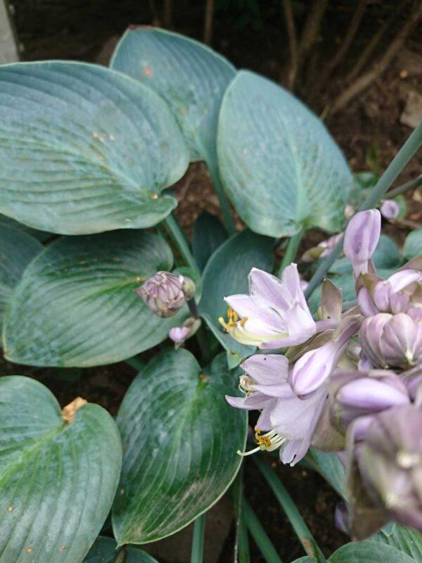 Blåfunkia Hosta tardiana 'Halcyon' (H.tardiflora x H. sieb. Elegans)