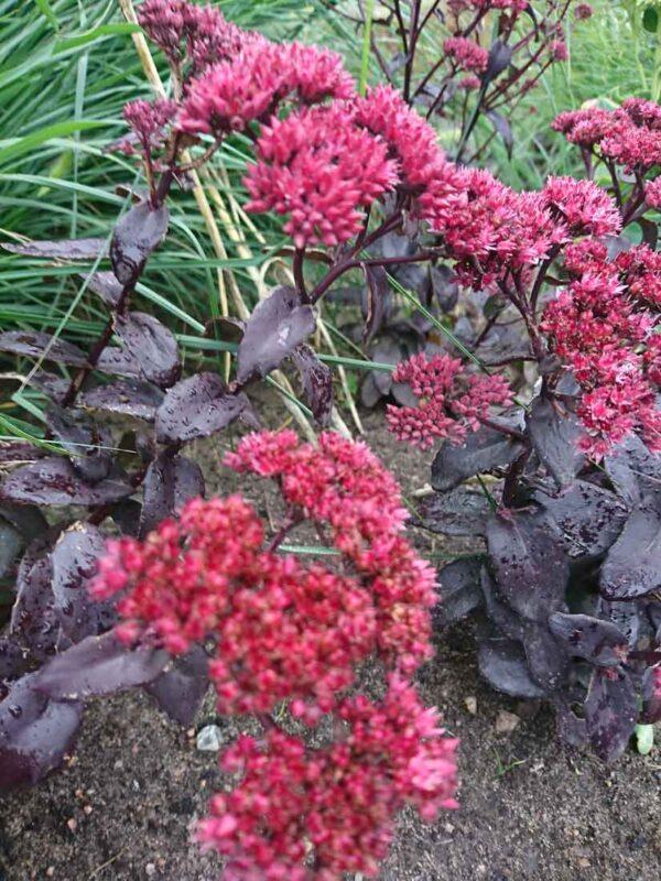 Rödbladig kärleksört Hylotelephium 'José Aubergine' (Sedum)
