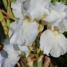 Trädgårdsiris Iris germanica 'Immortality'