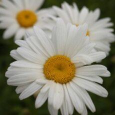 Jätteprästkrage Leucanthemum 'Bröllopsgåvan' Superbum – Gruppen