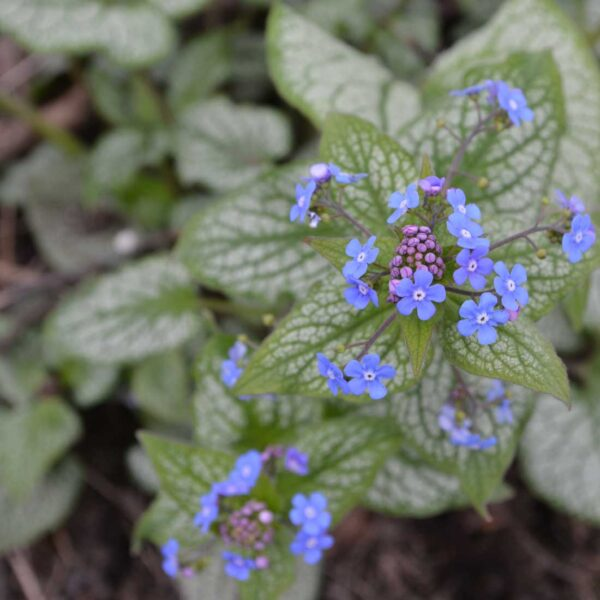 Kaukasisk förgätmigej Brunnera macrophylla 'Jack Frost'