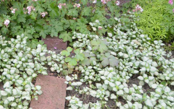 Rosenplister Lamium maculatum 'White Nancy'