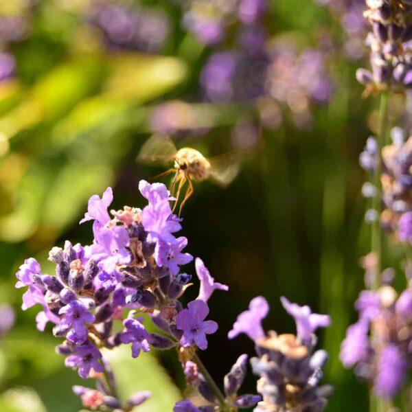 Lavendel Lavandula angustifolia 'Munstead'