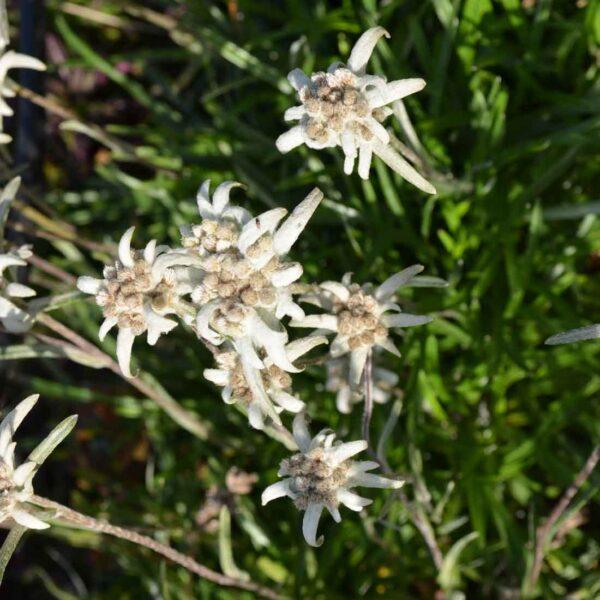 Edelweiss Leontopodium alpinum