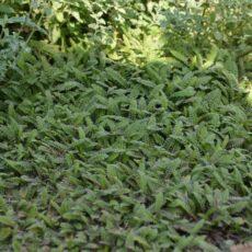 Krypkotula Leptinella squalida (Cotula squalida)