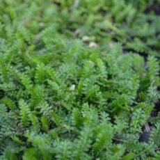 Bronskotula Leptinella pusilla (Cotula potentillina)