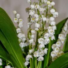 Liljekonvalj Convallaria majalis