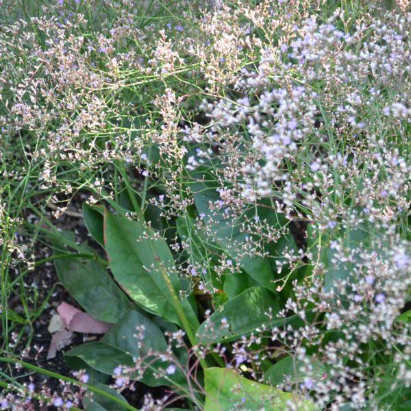 Silverrisp Limonium platyphyllum (latifolium)