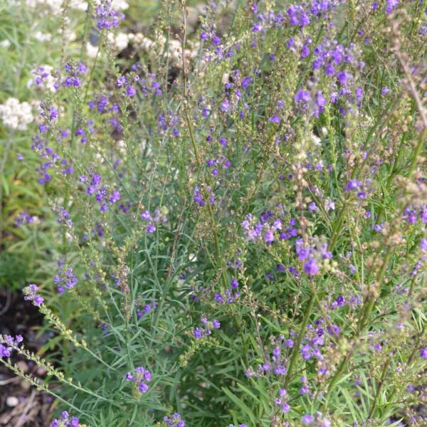 Purpursporre Linaria purpurea