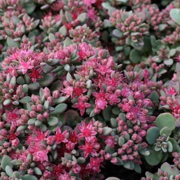Liten kärleksört Hylotelephium cauticolum 'Lidakense' (Sedum cauticola)