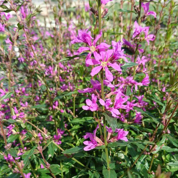 Smalt fackelblomster Lythrum virgatum 'Dropmore Purple'
