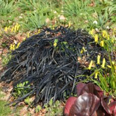 Mörkt ormskägg Ophipogon planiscapus 'Nigrescens'