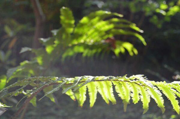 Japansk strutbräken Matteuccia orientalis
