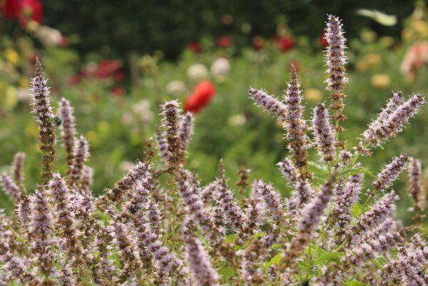 Grönmynta Mentha spicata 'Fägre'