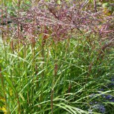 Japanskt gräs / Glansmiskantus Miscanthus sinensis 'Ferner Osten'