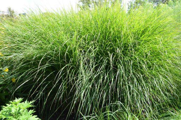 Japanskt gräs / Glansmiskantus Miscanthus sinensis 'Gracillimus'