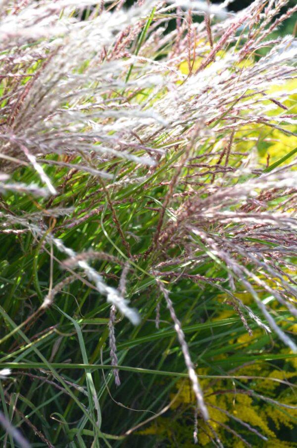 Japanskt gräs / Glansmiskantus Miscanthus sinensis 'Kleine Fontäne'