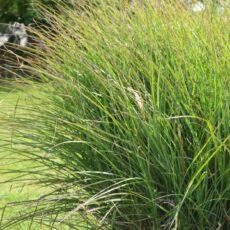 Japanskt gräs / Glansmiskantus Miscanthus sinensis 'Kleine Silberspinne'