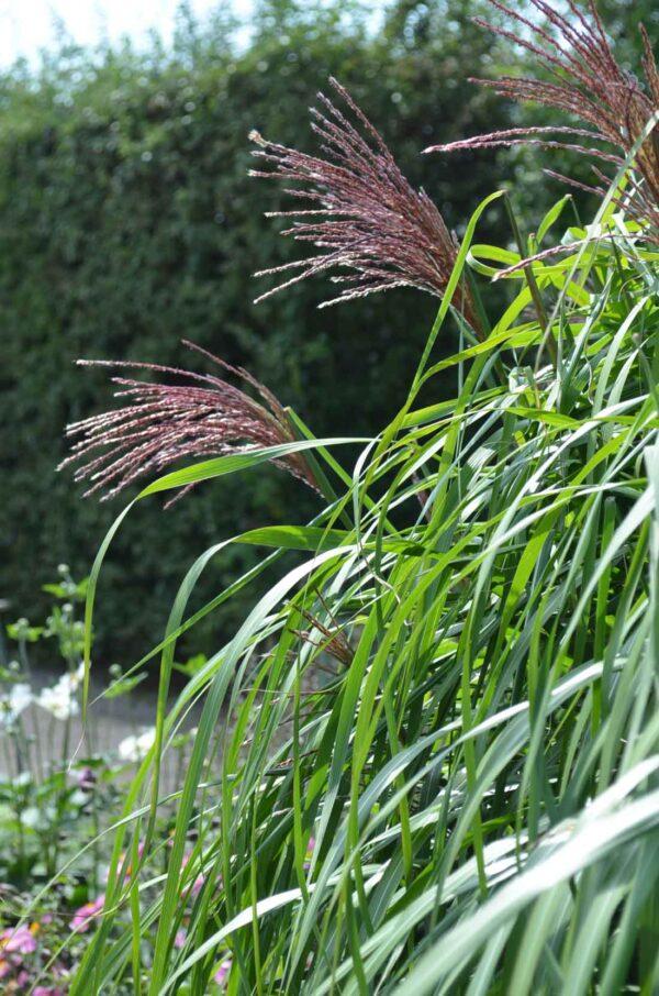 Japanskt gräs / Glansmiskantus Miscanthus sinensis 'Malepartus'