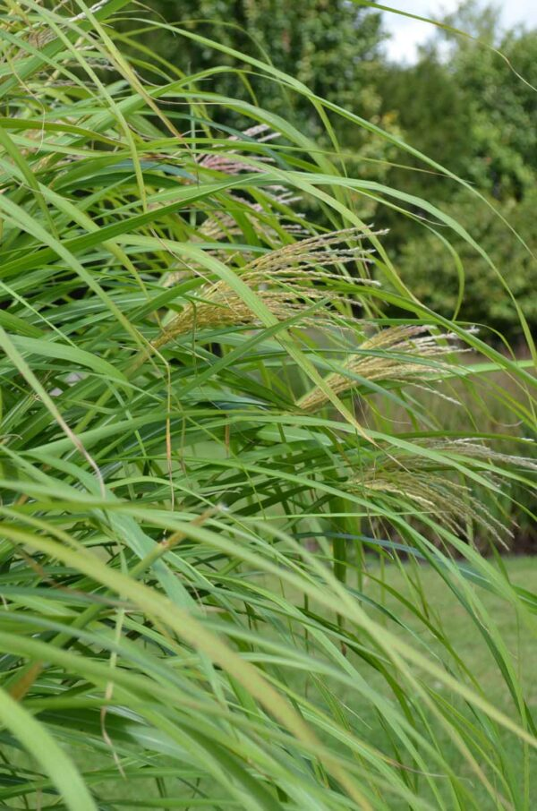 Japanskt gräs / Glansmiskantus Miscanthus sinensis 'Silberfeder'
