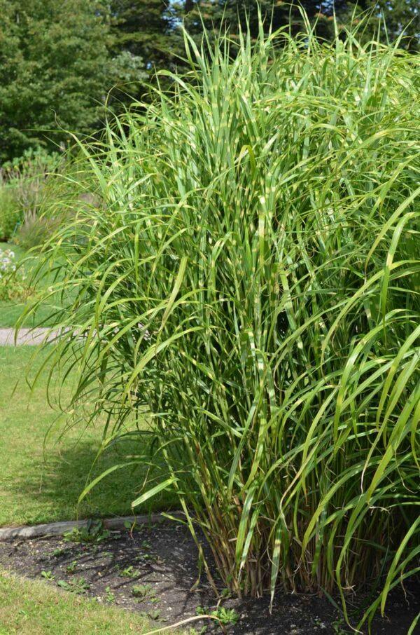 Japanskt gräs / Glansmiskantus Miscanthus sinensis 'Strictus'