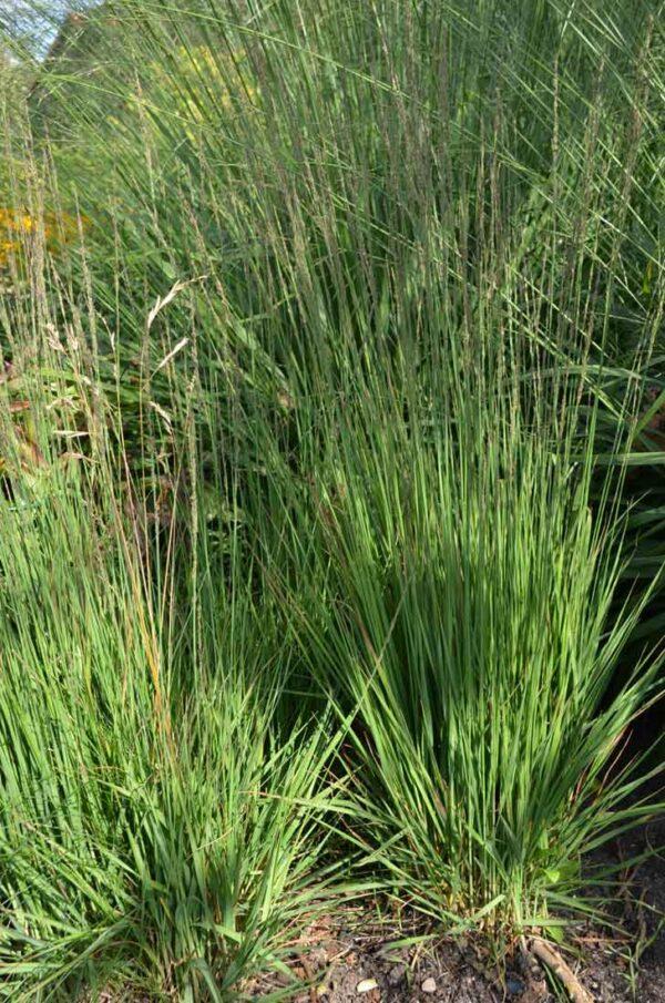 Jättetåtel Molinia caerulea ssp.arundinacea 'Karl Foerster'