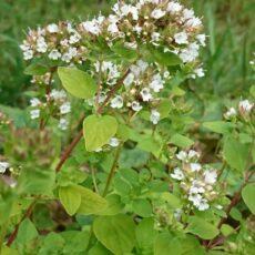 Gulbladig kungsmynta Origanum vulgare 'Thumble's Variety'