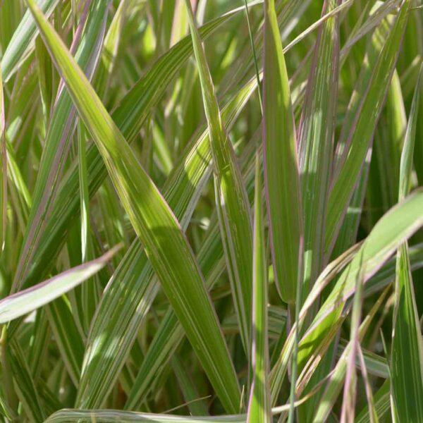 Randgräs Phalaris arundinacea 'Picta'