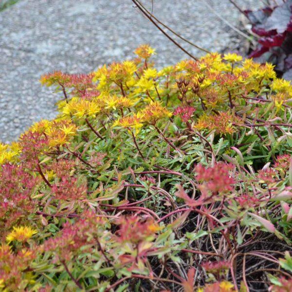 Smaragdfetblad Phedimus floriferum 'Weihenstphaner Gold'