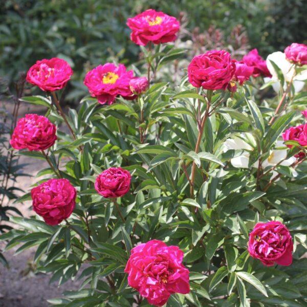 Luktpion Paeonia lactiflora 'Karl Rosenfield'