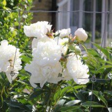 Luktpion Paeonia lactiflora 'Sherley Temple'