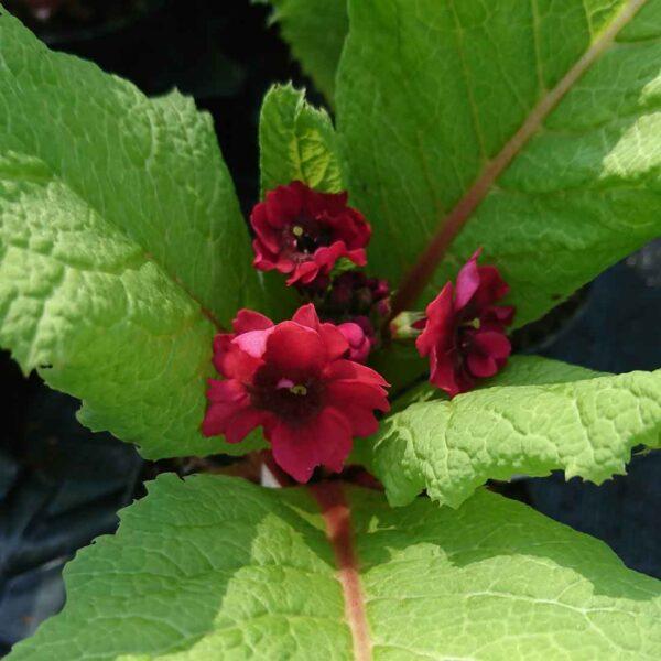 Japansk viva Primula japonica 'Miller's Crimson'