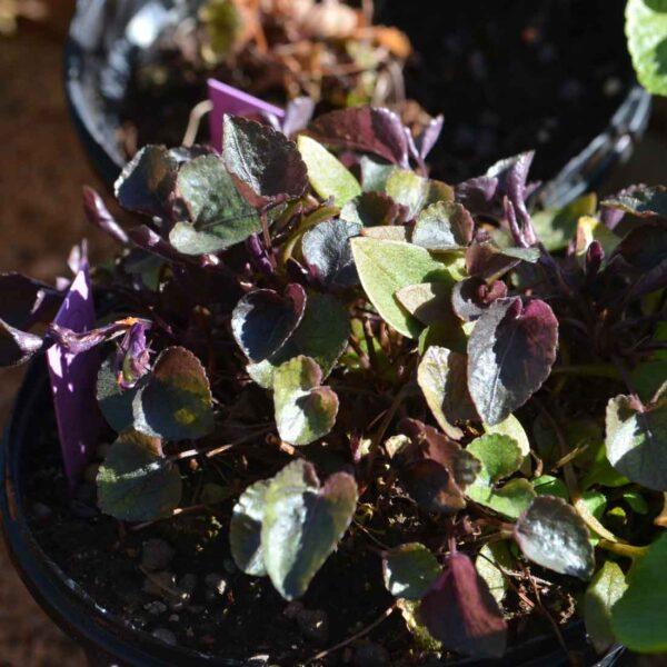 Purpurviol Viola riviniana 'Purpurea' (labradorica)