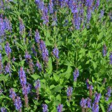 Stäppsalvia Salvia nem 'Blauhagel'