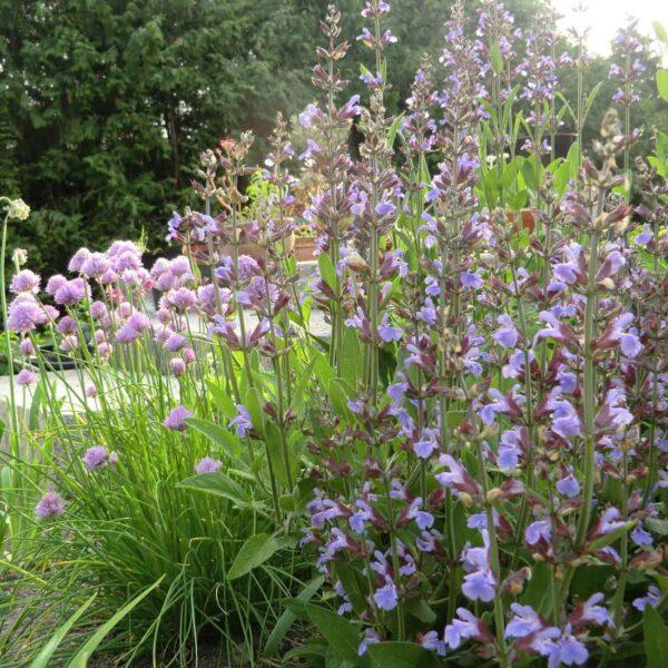 Kryddsalvia Salvia officinalis
