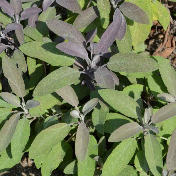 Kryddsalvia Salvia officinalis 'Purpurascens'