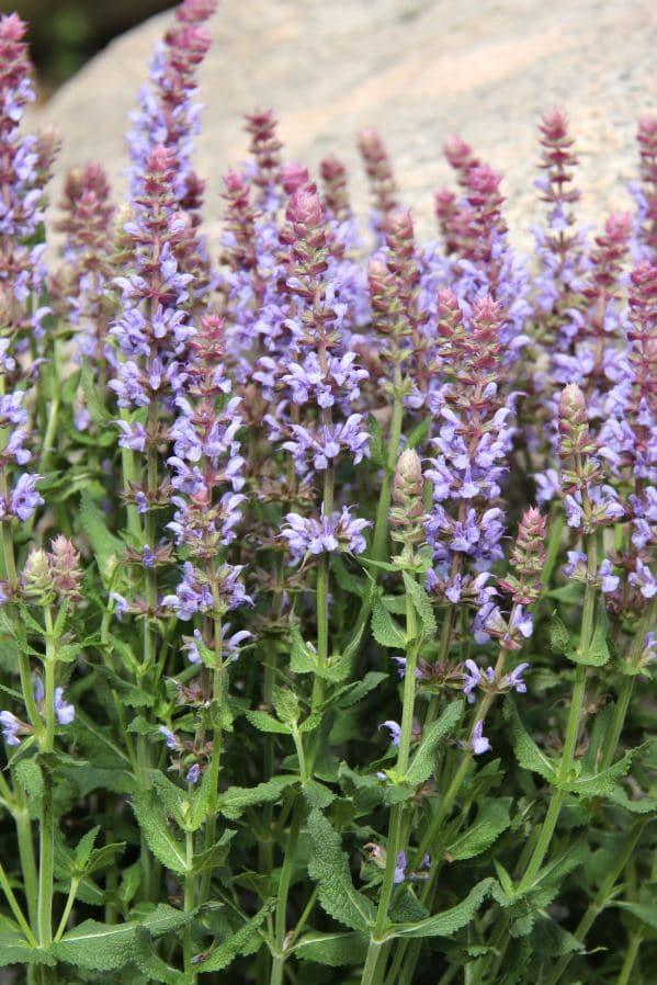 Stäppsalvia Salvia nem 'Salute Ice Blue'