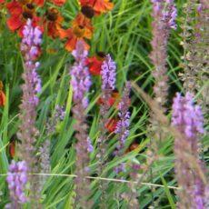 Stäppsalvia Salvia nemorosa 'Amethyst'