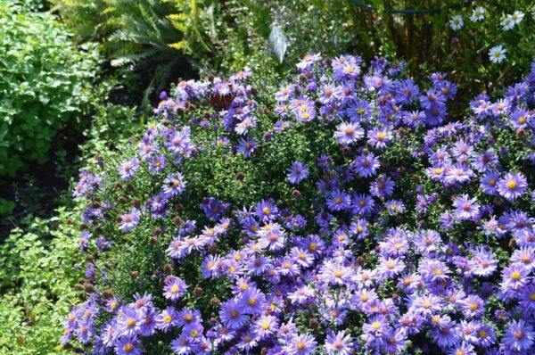 Oktoberaster Symphyotrichum novi-belgii 'Early Blue'