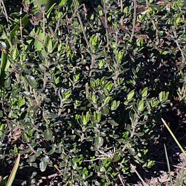 Trädgårdsgamander Teucrium lucidrys