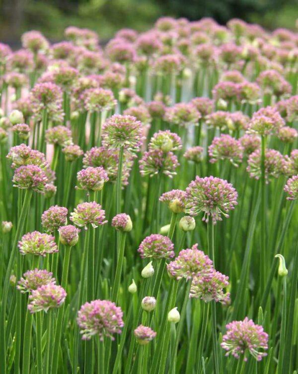 Trädgårdskantlök Allium 'Millenium'