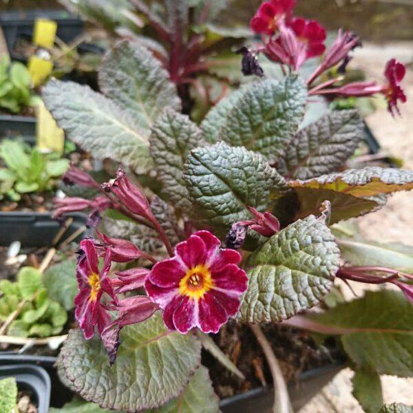 Trädgårdsviva Primula x polyantha 'Dark Rosaleen'