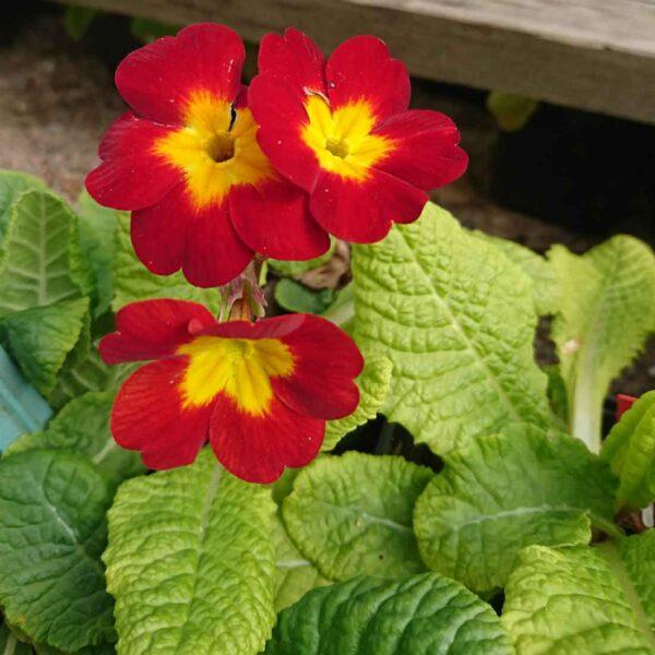 Trädgårdsviva Primula x polyantha 'Heterosis Crescendo'