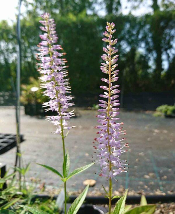 Kransveronika Veronicastrum virginicum 'Lavendelturm'