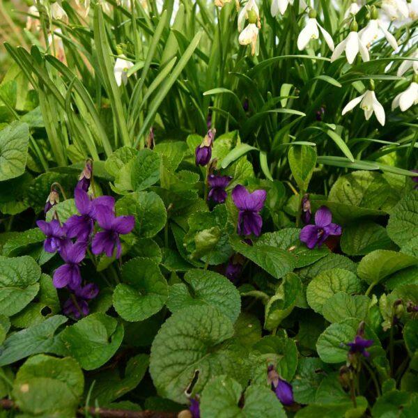 Luktviol Viola odorata