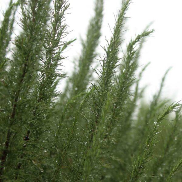 Åbrodd Artemisia abrotanum 'Predikoväcka'