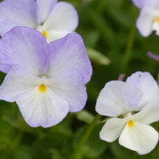 Perennpensé Viola cormuta 'Molly Sanderson'