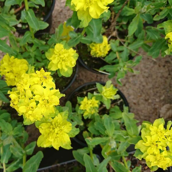 Gulltörel Euphorbia polychroma