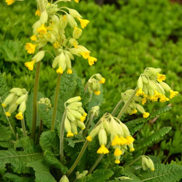 Gullviva Primula veris