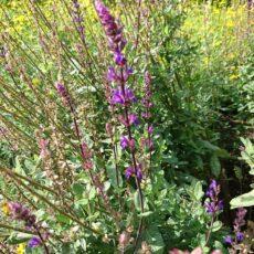 Salvia nem 'Caradonna'